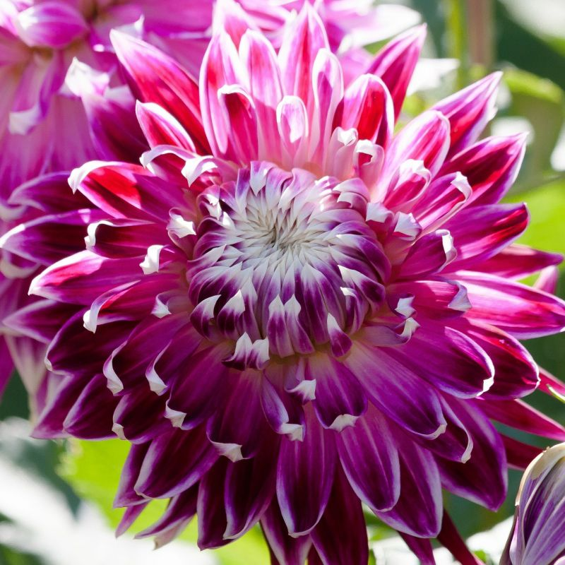 Dahlie lila