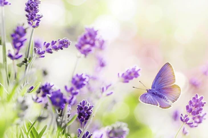 Lavendel Blüten mit Schmetterling