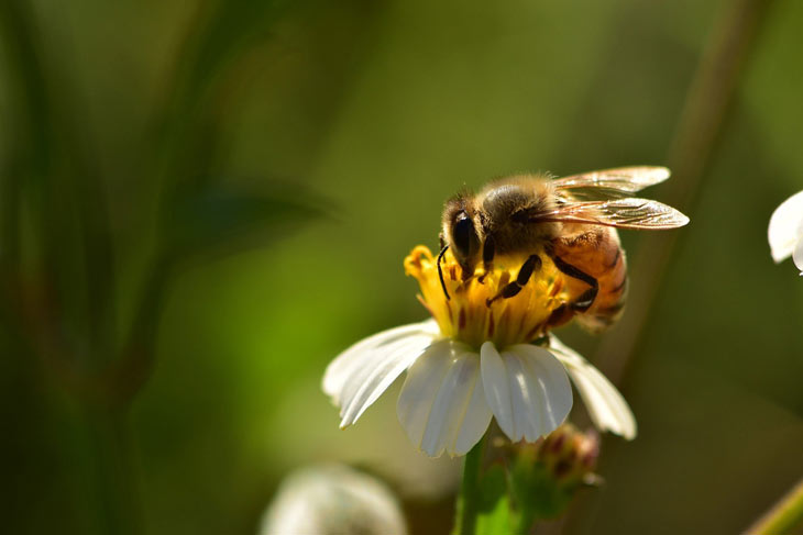 Biene an Blüte
