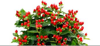 Immergrüne Pflanzen