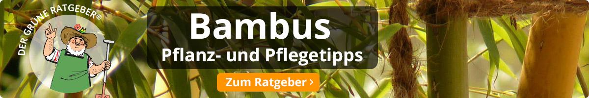 Bambus - Pflanz- und Pflegetipps