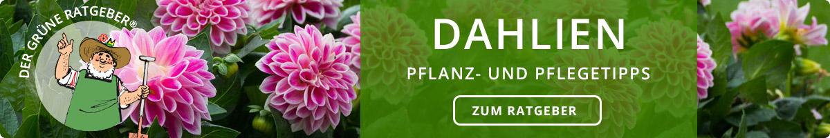 Dahlien - Pflanz- und Pflegetipps