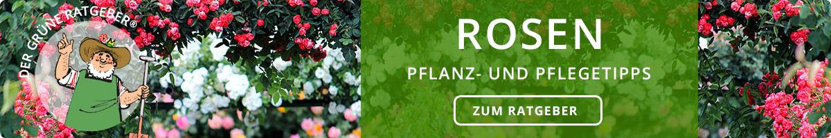 Rosen - Pflanz- und Pflegetipps