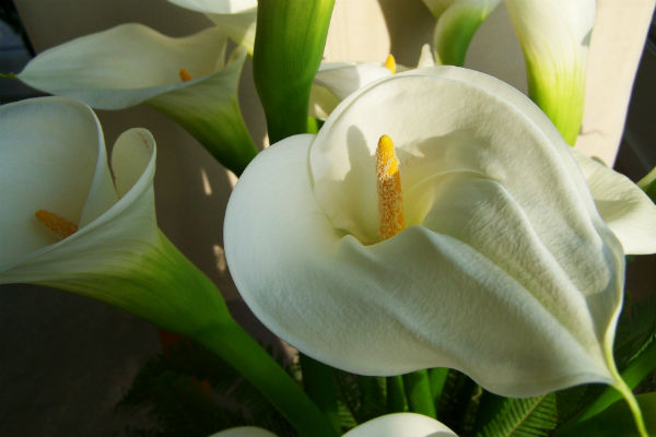 Weiße Calla in voller Blüte