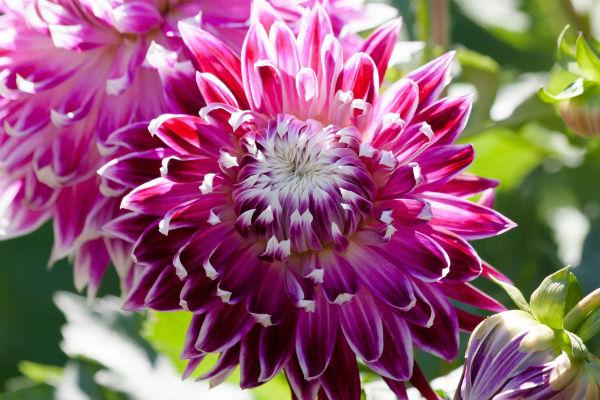 Dahlien mit pink-violetter Blüte