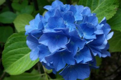 Blaue Blüten Hortensie