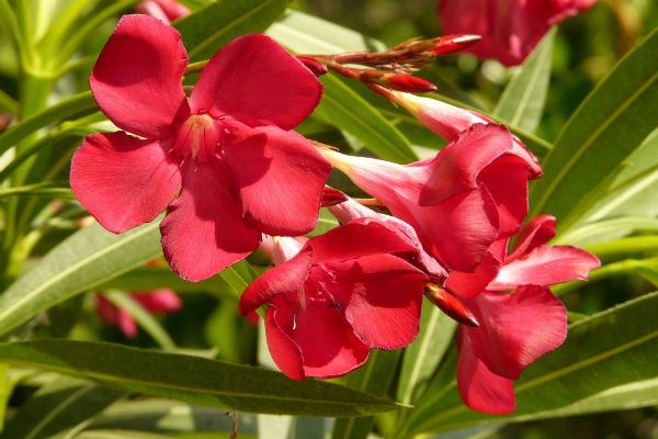 Oleander rote Blüten