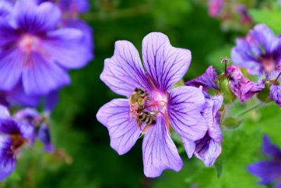 Biene auf der Blüte von Storchschnabel