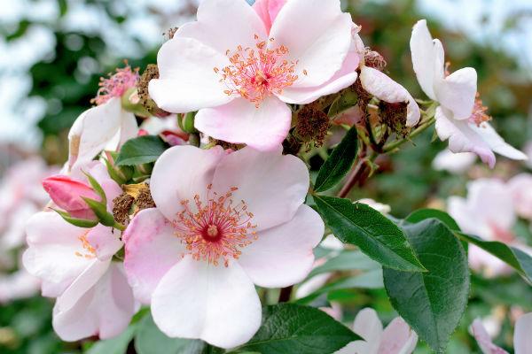 Einfachblühende Strauchrose in Rosa