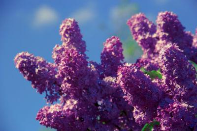 Duftende Blüten des gemeinen Flieders