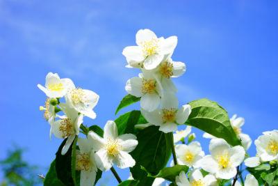 Duftende Blüten des falschen Jasmins