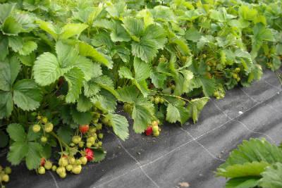 Reifende Früchte an Erdbeerpflanzen
