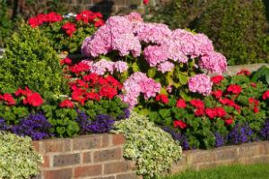 Geranien zusammen mit anderen Sommerpflanzen in einem Beet