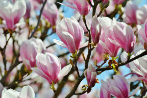 Tulpen-Magnolie in Blüte