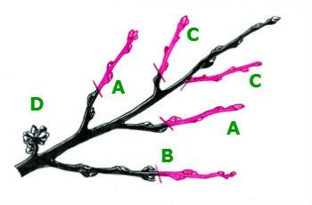 Schnittskizze zum Pfirsichbäume schneiden