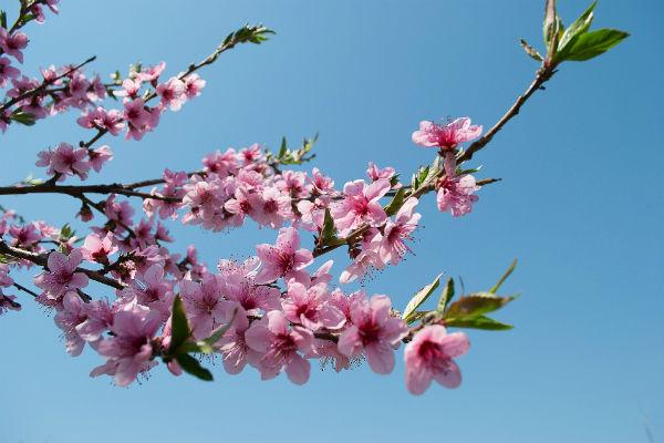 Blüten eines Ziergehölzes