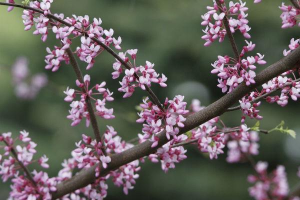 Blüten des Judasbaumes
