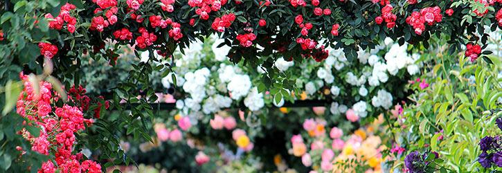 Qualität und Gesundheit von Rosen erkennen