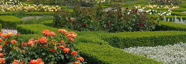 Die Ursprünge der Rosen