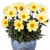 Blumenzwiebeln für die Frühjahrspflanzung