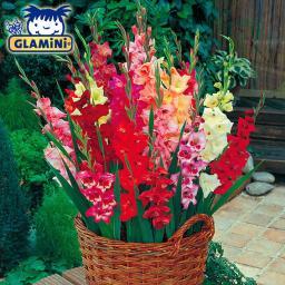 Midi-Gladiolen Glamini-Mischung