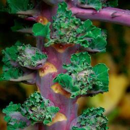 Kohlsamen Flower-Sprout Petit Posy-Mischung