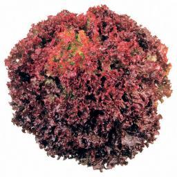Salatsamen Pflücksalat Lollo Rosso Solmar