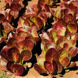 Salatsamen Romana- und Feldsalat Ovired