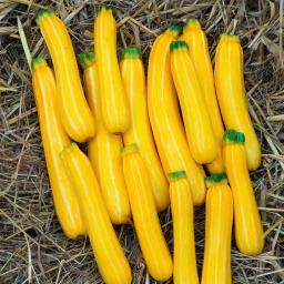 Zucchinisamen Sunstripe F1