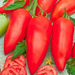 Tomatenpflanze Andenhörnchen Andine Cornue F1, veredelt, im ca. 12 cm-Topf