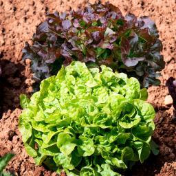 Samensortiment Eichblatt- und Pflücksalate