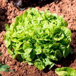 Salatsamen Eichblatt- und Pflücksalat Kyrio