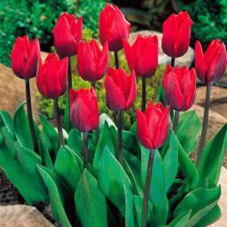 Tulpe Couleur Cardinal