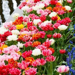 Tulpen frühblühende Murillo-Mischung, gefüllt