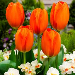 Tulpe Orange Balloon
