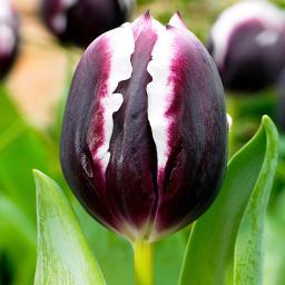 Tulpe Jackpot