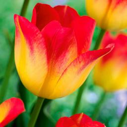 Tulpe Sun Catcher