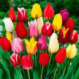 Tulpen-Mischung Farbenparade in Extragröße