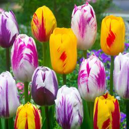 Mischung Rembrandt-Triumph-Tulpen