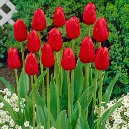 Tulpe Königsblut