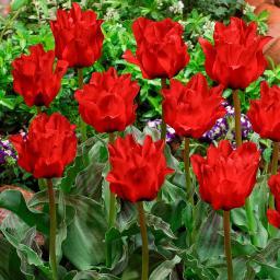 Tulpe Doppeltes Rotkäppchen, gefüllt