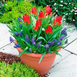 Pflanz-Tray Ready to Plant Tulpen und Traubenhyazinthen