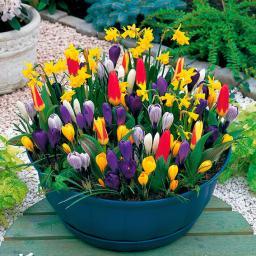 Blumenzwiebel-Sortiment Frühlingsboten für Töpfe und Schalen