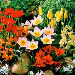 Blumenzwiebel-Sortiment Wildtulpen