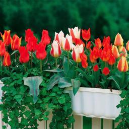 Blumenzwiebel-Set Bunte Blumenkasten-Tulpen