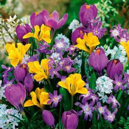 Blumenzwiebel-Sortiment Gärtner Pötschkes Bunte Frühlingszwerge