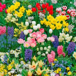 Blumenzwiebel-Sortiment 100 Tage Frühlingsblüte