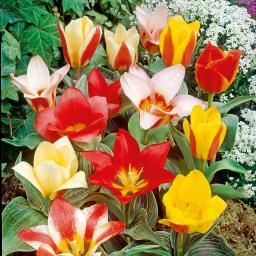 Tulpen Pfauen-Mischung