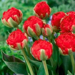 Tulpe Redwood