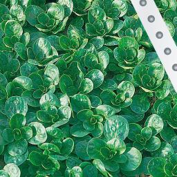Saatband 6 m Feldsalat Medaillon